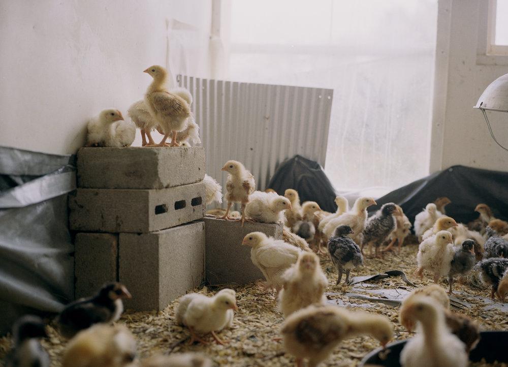 Marin_Chickens_ 017.jpg