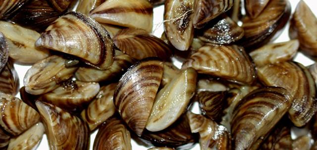 Zebra mussels. Photo courtesy United States Geological Survey.