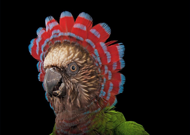 Red-fan parrot, Deroptyus accipitrinus, Houston Zoo. Photograph from National Geographic.