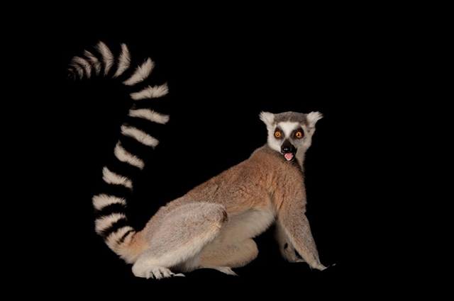 Ring-tailed lemur, Lemur catta, Lincoln Children's Zoo, Nebraska. Photograph from National Geographic.