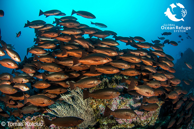 A school of red snapper in Malpelo Fauna and Flora Sanctuary. Edited here, original photo by Tomas Kotouc.