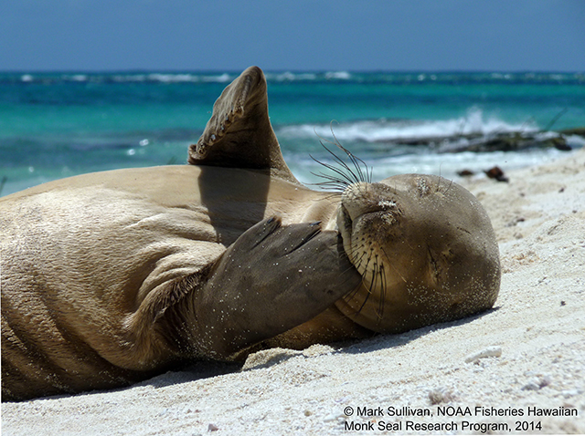 A juvenile Hawaiian monk seal rests on a beach on Tern Island, French Frigate Shoals in Papahānaumokuākea Marine National Monument. Photo by Mark Sullivan, NOAA Fisheries Hawaiian Monk Seal Research Program, 2014.