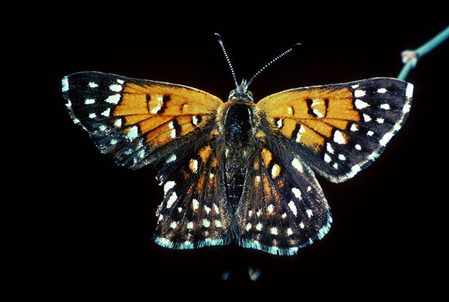Lange's metalmark butterfly.Photo courtesy of the U.S. Fish and Wildlife Service.