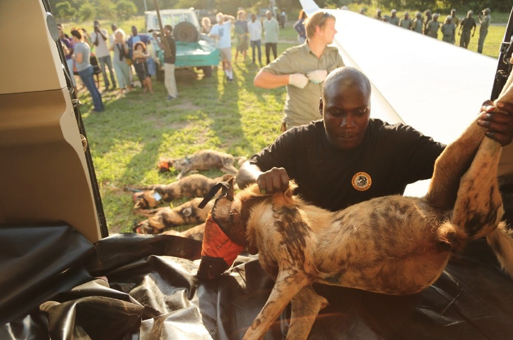 The Wild Dogs, still sedated, being unloaded off the airplane upon arrival in Gorongosa.