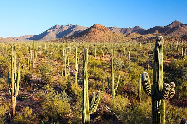 Saguaro National Park. Photograph by Joe Parks.