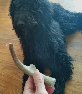 dog with hardychew antler