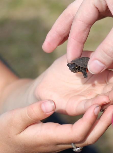 juvenile midland painted turtle