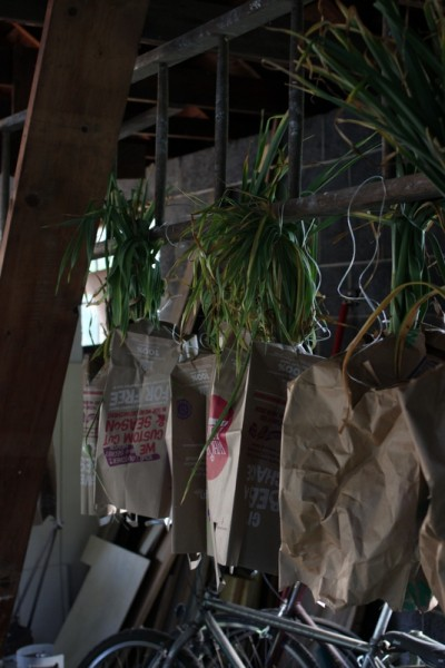 garlic hanging in paper bags in garage
