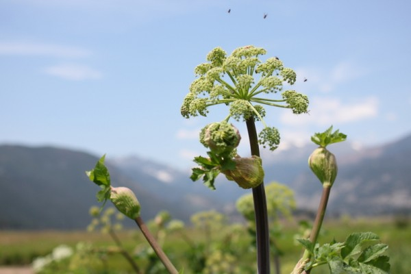 wild parsley and bees