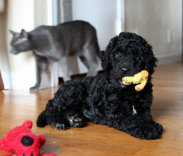 annabel schnoodle puppy