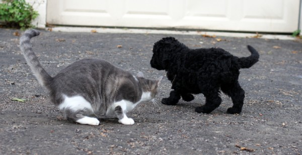 schnoodle puppy and cat