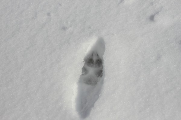 fox footprint in snow