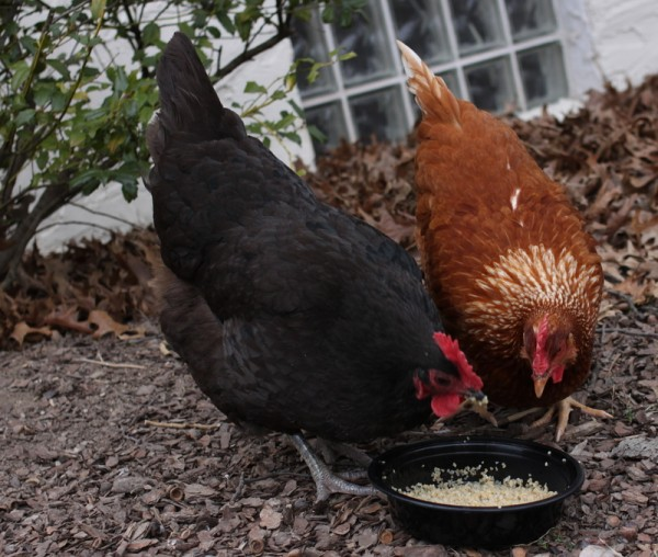 chickens eating warm grain