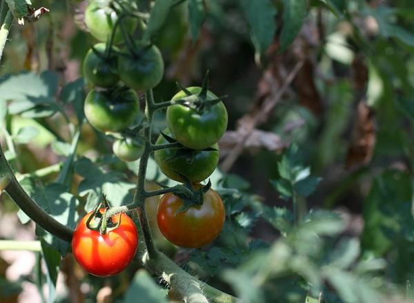 sunny tomato