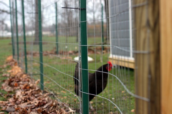 chicken run fencing