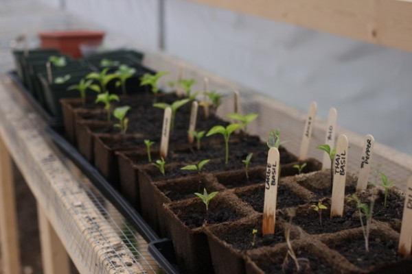 seedlings in hoop house