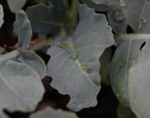 cabbage moth caterpillar