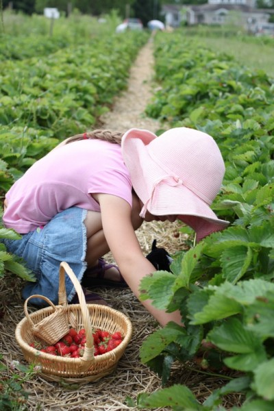 child picking strawberries with stuffed cat