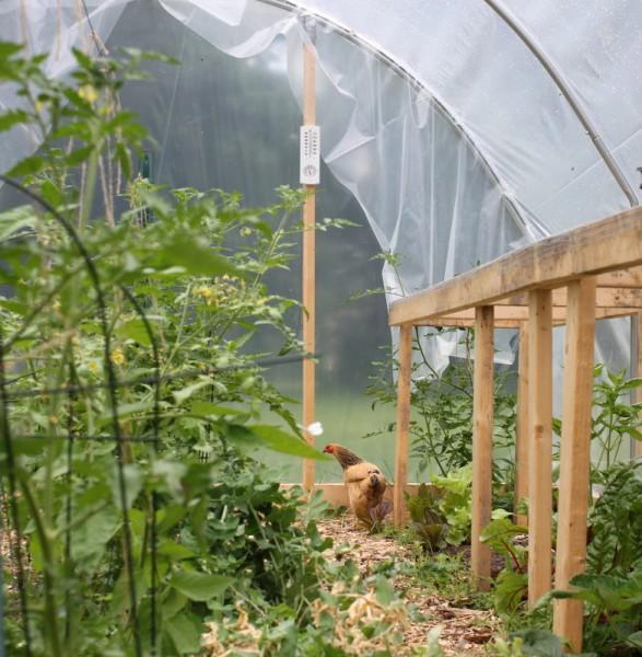 hen in hoop house