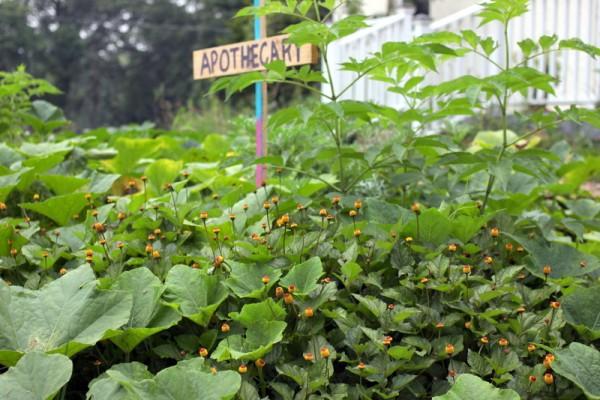 acmella oleracea plants