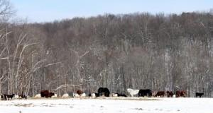 animals grazing in winter