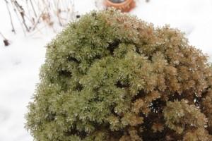 iced evergreen bush