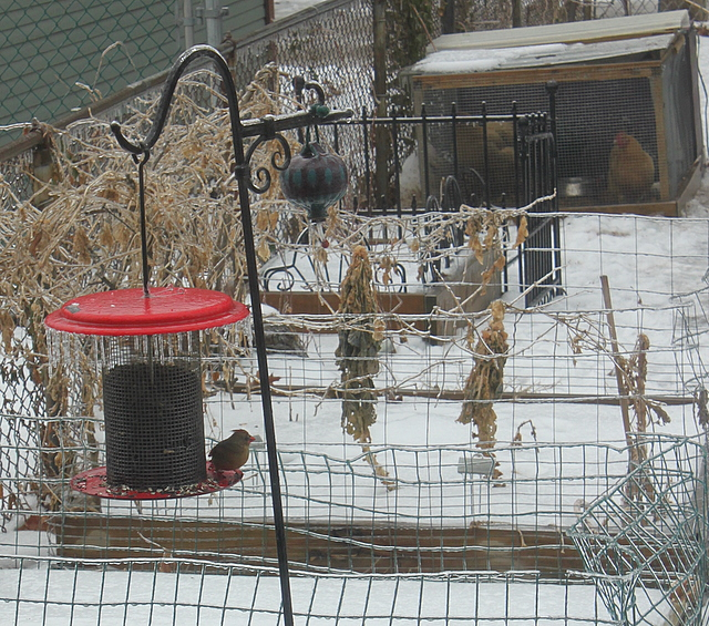 bird on the icy feeder and chickens in the coop