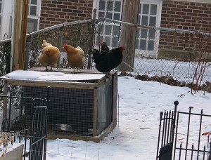 chickens standing on the coop in winter