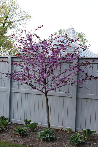 edible redbud tree just before blossom