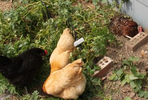 chickens nesting in potatoes
