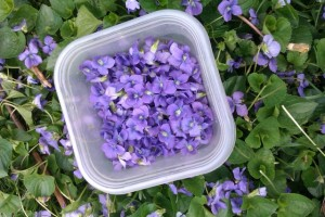 collecting edible violets
