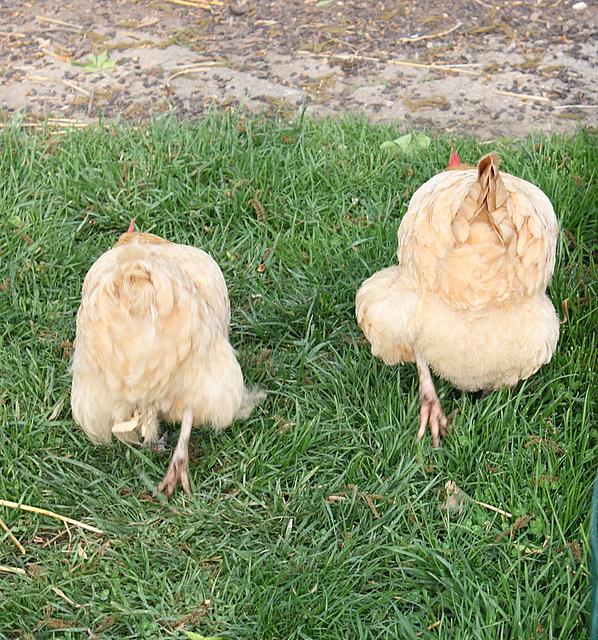 buff orpington chicken rear