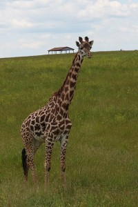 giraffe at the wilds