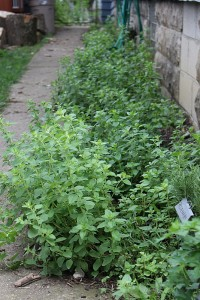 herbs in a sideyard
