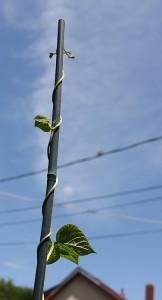 bean climbing a pole