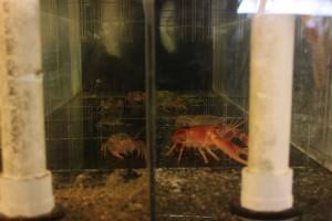 ohio freshwater shrimp
