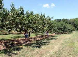 apple trees at apple hill orchard mansfield ohio