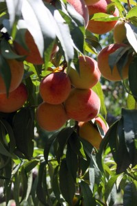 peaches dripping from tree pick your own