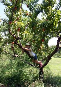 child climbing tree to reach peach