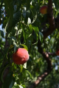 peach at branstool orchard