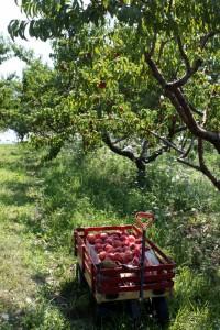 peaches in wagon