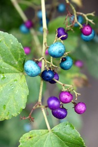 blue berries in alley