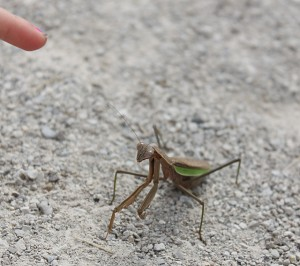 praying mantis at darby creek