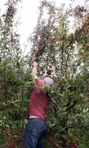 picking enterprize apples at lawrence