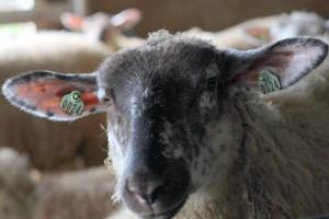 dairy sheep kokoborrego
