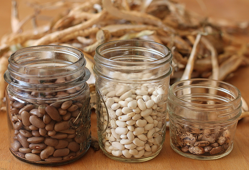 home grown dried beans yield