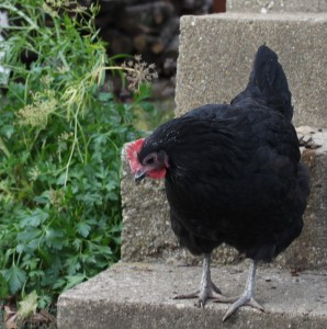 black australorp backyard chicken