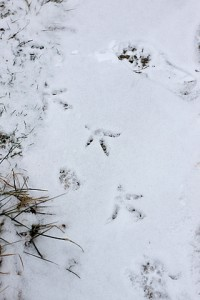 chicken footprints in snow