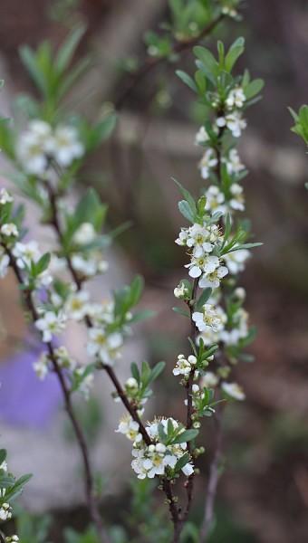 dwarf cherry blossoms