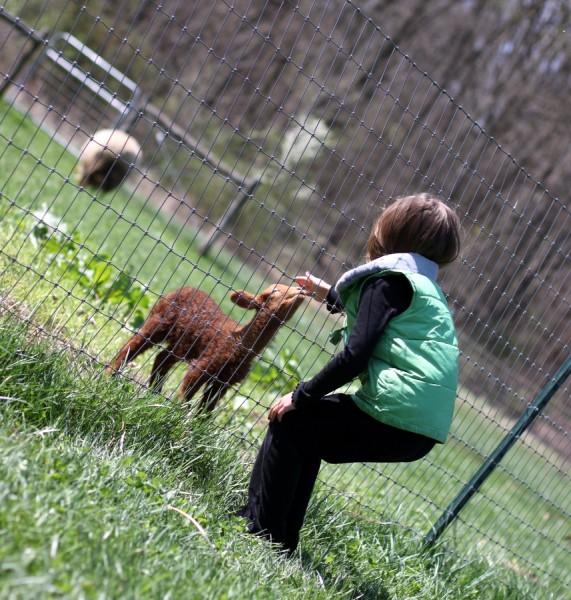 girl petting baby lamb